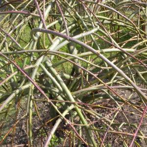 Salweide Aeste Salix caprea 12
