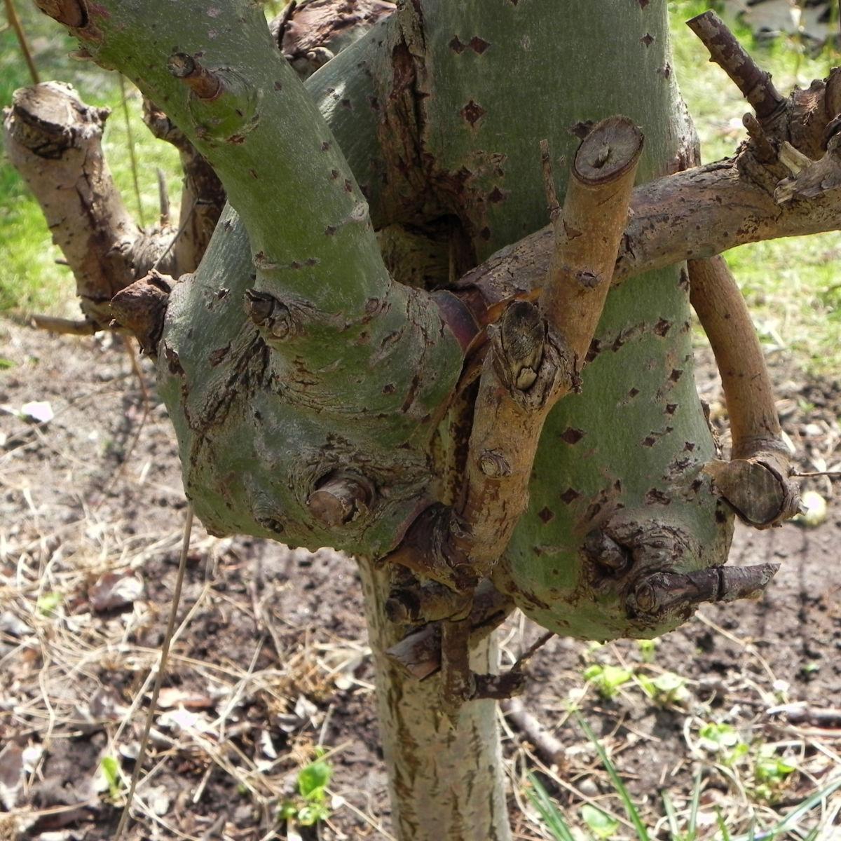 Salweide Aeste Salix caprea