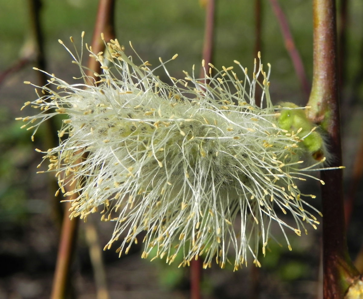 Salweide Bluete hellgelb Salix caprea