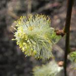Bild: Salweide Blüte hellgelb Salix caprea