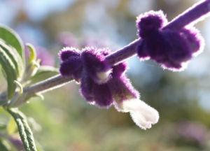 Samt Salbei Bluetendolde lila Salvia leucantha 08