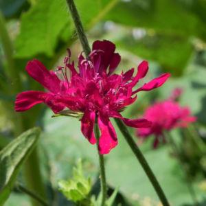 Samt Skabiose Bluete purpur rot Scabiosa atropurpurea 03