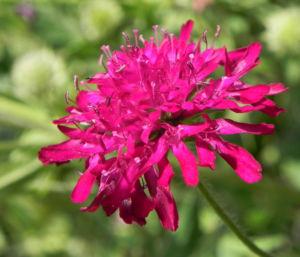 Samt Skabiose Bluete purpur rot Scabiosa atropurpurea 05