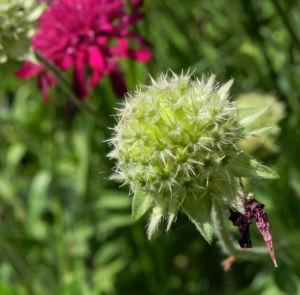 Samt Skabiose Bluete purpur rot Scabiosa atropurpurea 06