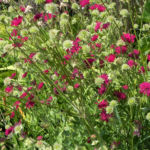 Samt Skabiose Bluete purpur rot Scabiosa atropurpurea 07