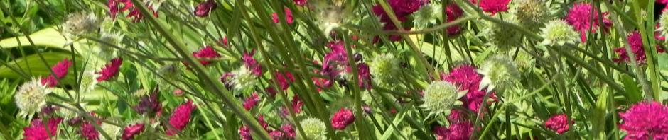 samt-skabiose-bluete-purpur-rot-scabiosa-atropurpurea