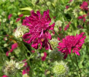 Samt Skabiose Bluete purpur rot Scabiosa atropurpurea 08