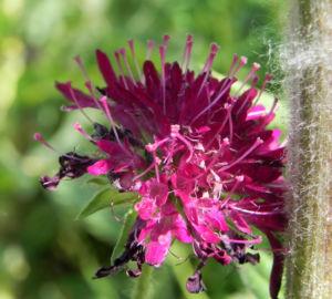 Samt Skabiose Bluete purpur rot Scabiosa atropurpurea 10