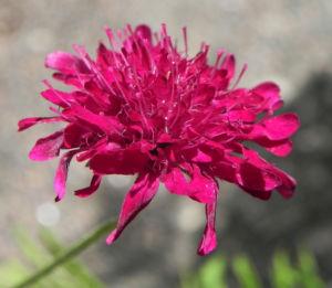 Samt Skabiose Bluete purpur rot Scabiosa atropurpurea 11