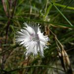 sand nelke bluete weiß dianthus arenarius 02