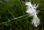 sand nelke bluete weiß dianthus arenarius 05