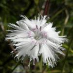 Bild:  Sand-Nelke Blüte weiß Dianthus arenarius
