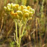 Sand Strohblume Bluete gelb Helichrysum arenarium 02