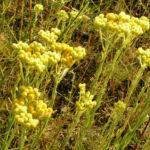 Sand Strohblume Bluete gelb Helichrysum arenarium 03