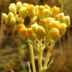 Sand Strohblume Bluete gelb Helichrysum arenarium 05