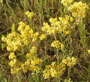 Sand Strohblume Bluete gelb Helichrysum arenarium 07
