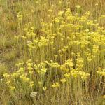 Sand Strohblume Bluete gelb Helichrysum arenarium 08