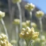 Sand Strohblume silber gruen Knospe Helichrysum arenarium 05