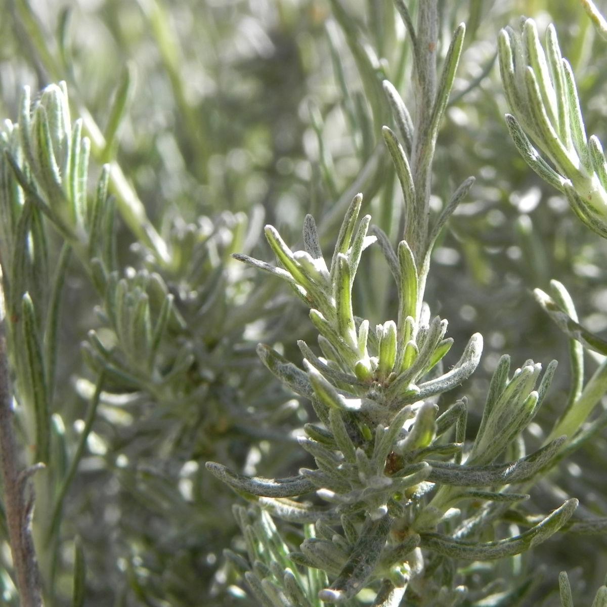 Sand Strohblume silber gruen Knospe Helichrysum arenarium