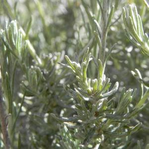 Bild: Sand Strohblume silber gruen Knospe Helichrysum arenarium