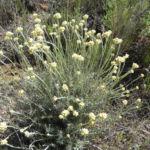 Sand Strohblume silber gruen Knospe Helichrysum arenarium 08