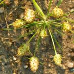 Bild: Sand-Wegerich Blüte grünlich Psyllium arenarium