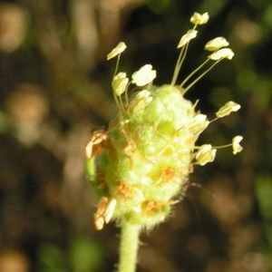 Sand Wegerich Sand Flohsame Bluete gruenlich Psyllium arenarium 06
