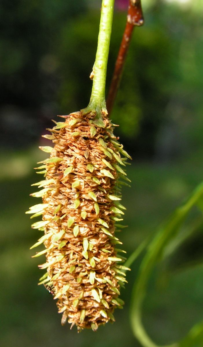 Sandbirke Weissbirke Haengebirke Baum Blatt Frucht gruen Betula pendula Laciniata