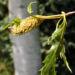Zurück zum kompletten Bilderset Hängebirke Blatt Frucht grün Betula pendula laciniata