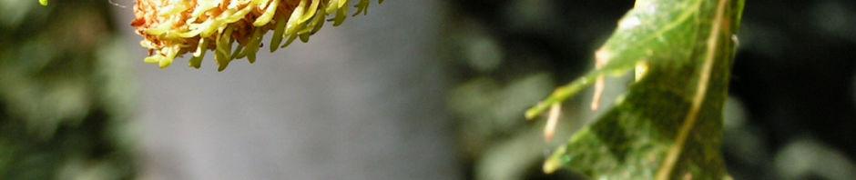 Anklicken um das ganze Bild zu sehen Hängebirke Blatt Frucht grün Betula pendula laciniata