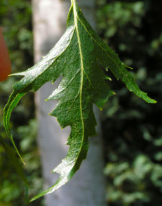 Sandbirke Weissbirke Haengebirke Baum Blatt Frucht gruen Betula pendula Laciniata 07