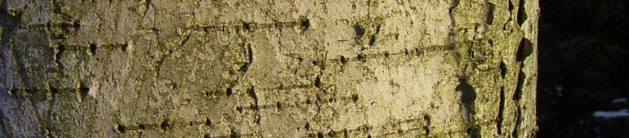 Anklicken um das ganze Bild zu sehen Sandbirke Rinde Stamm weiß Betula pendula