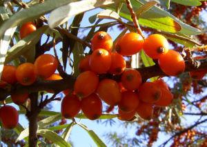 Sanddorn Frucht orange Hippophae rhamnoides 57 32