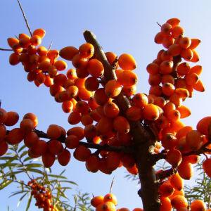Sanddorn Frucht orange Hippophae rhamnoides 57 33