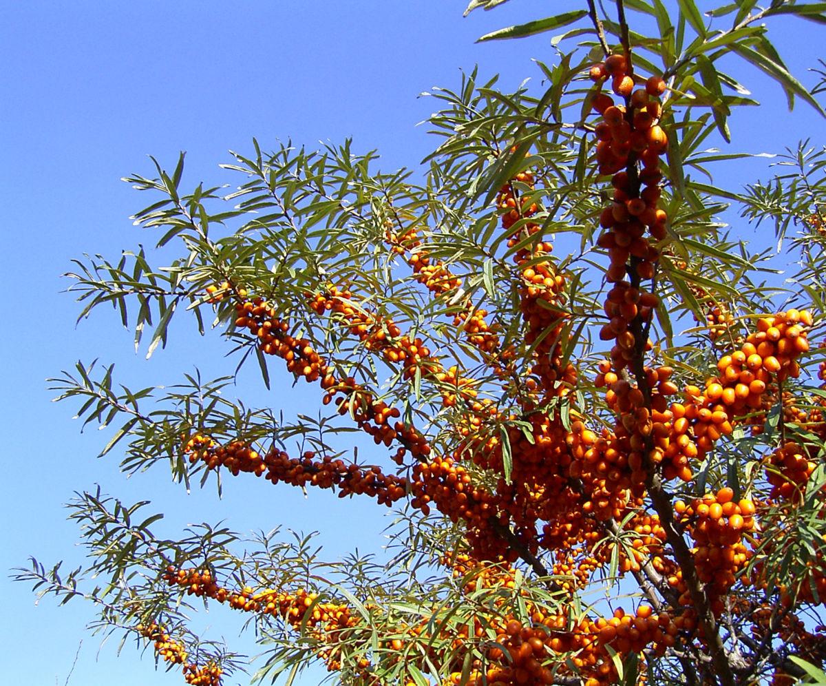 Sanddorn Frucht orange Hippophae rhamnoides