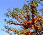 Sanddorn Frucht orange Hippophae rhamnoides 57 36