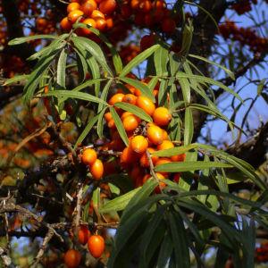Sanddorn Frucht orange Hippophae rhamnoides 57 37