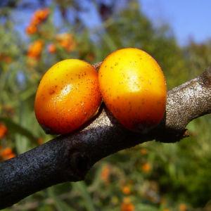 Sanddorn Frucht orange Hippophae rhamnoides 57 38