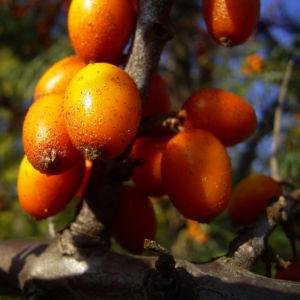 Sanddorn Frucht orange Hippophae rhamnoides 57 39