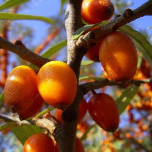 Sanddorn Frucht orange Hippophae rhamnoides 57 41