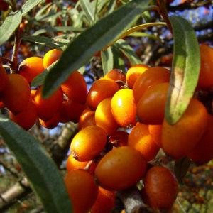 Sanddorn Frucht orange Hippophae rhamnoides 57 42