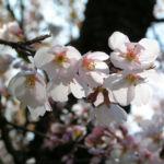 Sargents Kirsche Baum Bluete weiss Prunus sargentii 01
