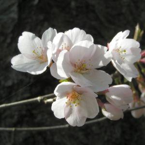 Sargents Kirsche Baum Bluete weiss Prunus sargentii 03