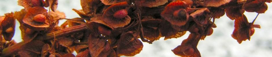 sauerampfer-samen-braun-rumex-acetosa