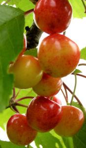 Sauerkirsche Frucht rot Prunus cerasus 03