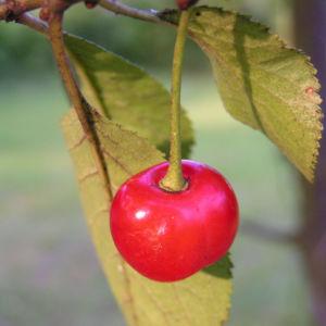 Sauerkirsche Frucht rot Prunus cerasus 04