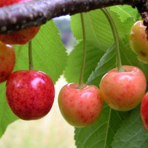 Sauerkirsche Frucht rot Prunus cerasus 05