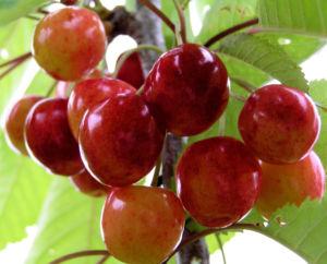 Sauerkirsche Frucht rot Prunus cerasus 07