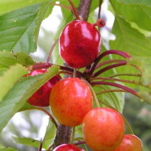 Sauerkirsche Frucht rot Prunus cerasus 08