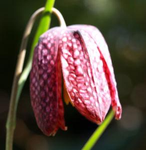 Schachbrettblume Bleute purpur Fritillaria meleagris 03